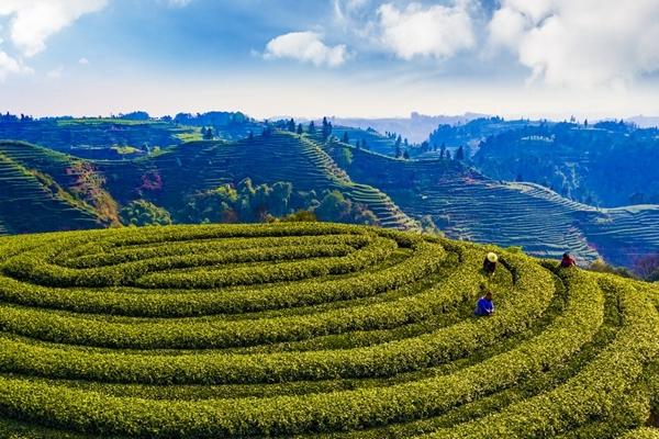 名山:春茶长势喜人,茶农采茶忙